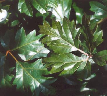 Picture of Cissus rhombifolia