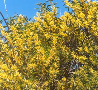 Picture of Acacia longifolia