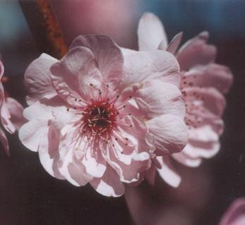 Picture of Prunus x blireana