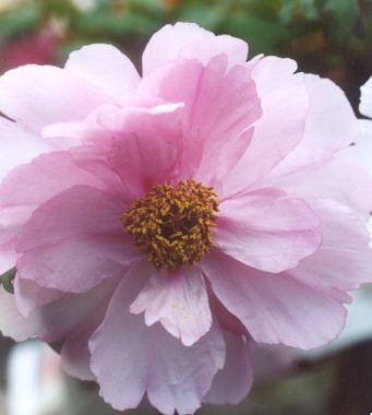 Picture of Paeonia suffruticosa