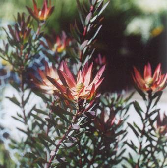 Picture of Leucadendron salignum