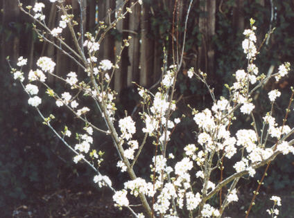 Picture of Prunus salicina