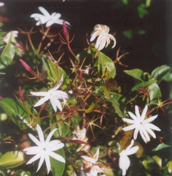 Picture of Jasminum nitidum