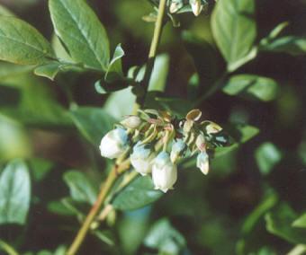 Picture of Vaccinium corymbosum