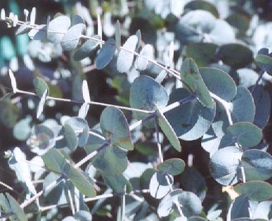 Picture of Eucalyptus cinerea