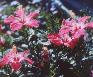 Picture of Hibiscus sp.