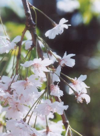 Picture of Prunus pendula