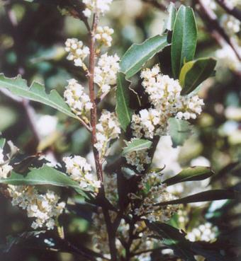 Picture of Prunus caroliniana