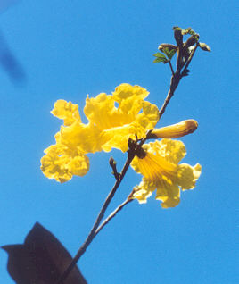 Picture of Tabebuia chrysotricha