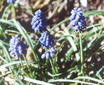 Picture of Muscari armeniacum