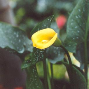 Picture of Zantedeschia elliottiana
