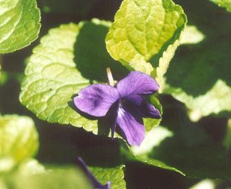 Picture of Viola odorata