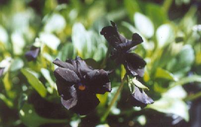 Picture of Viola cornuta
