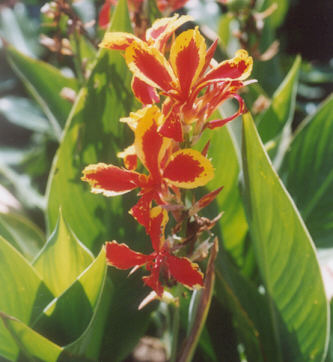 Picture of Canna hybrid