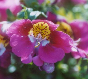 Picture of Schizanthus x wisetonensis