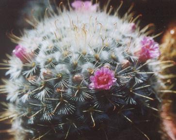 Picture of Mammillaria sp