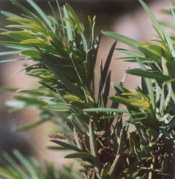 Picture of Podocarpus macrophyllus