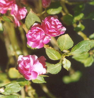 Picture of Impatiens walleriana
