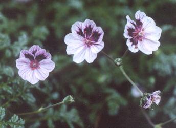 Picture of Erodium x kolbianum