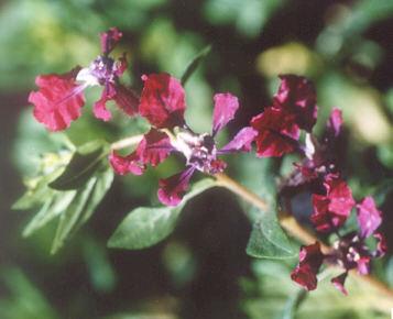 Picture of Cuphea x purpurea