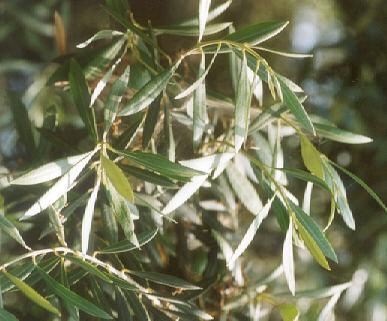 Picture of Oleo europea