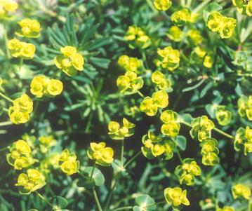 Picture of Euphorbia cyparissias