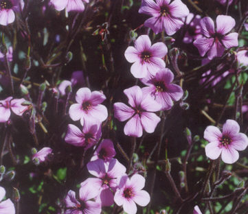 Picture of Geranium maderense