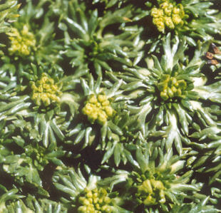 Picture of Bolax gummifera