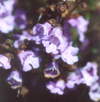 Picture of Prostanthera denticulata