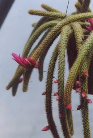 Picture of Aporocactus flagelliformis