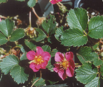 Picture of Fragaria sp.