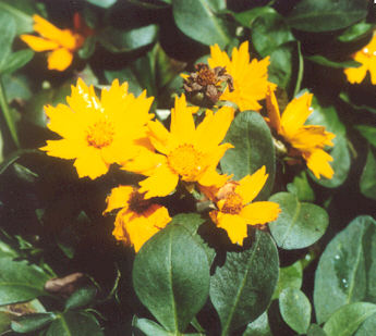 Picture of Coreopsis auriculata