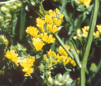 Picture of Limonium sp.