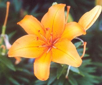Picture of Lilium sp.