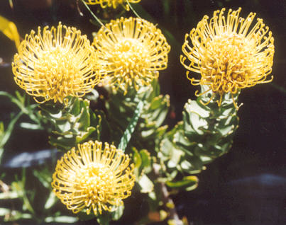 Picture of Protea sp.