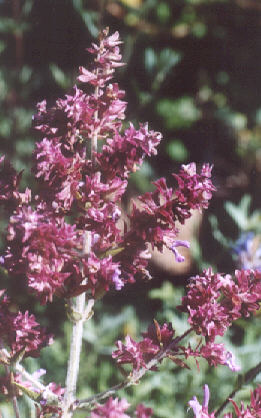 Picture of Salvia canariensis