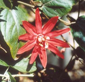 Picture of Passiflora vitifolia