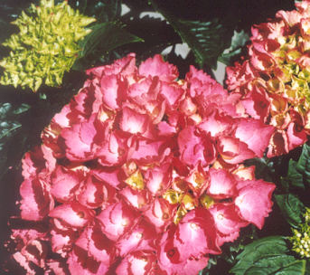Picture of Hydrangea macrophylla