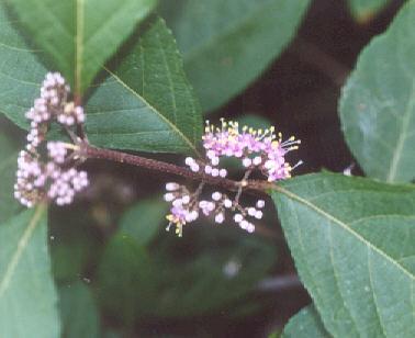 Picture of Callicarpa bodinieri