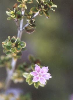 Picture of Serissa foetida