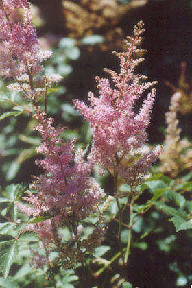 Picture of Astilbe hybrida