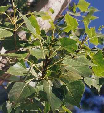 Picture of Populus fremontii