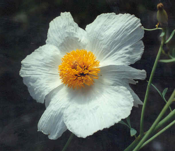 Picture of Romneja coulteri