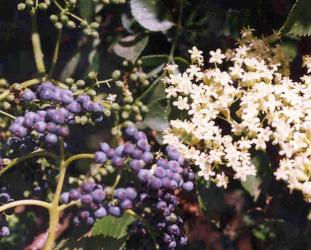Picture of Sambucus mexicana