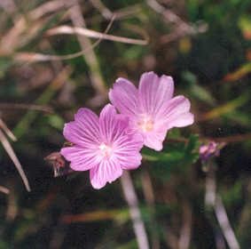 Picture of Sidalcea malvaeflora ssp. malvaeflora
