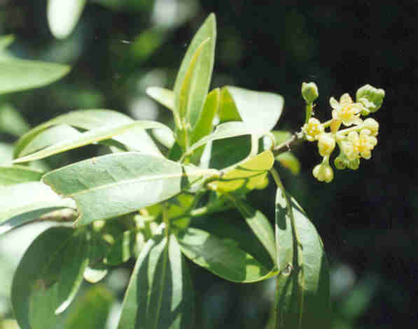 Picture of Umbellularia californica