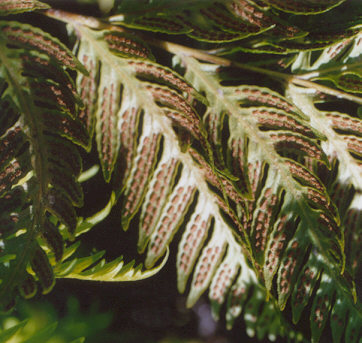 Picture of Woodwardia fimbriata