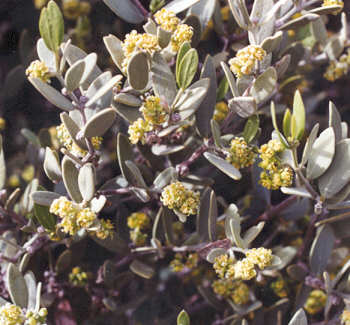 Picture of Simmondsia chinensis