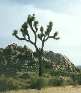 Picture of Yucca brevifolia