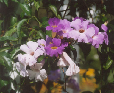 Picture of Distictis laxiflora